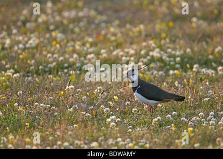 Common lapwing Vanellus vanellus in machair. Island of North Uist, Western Isles, Scotland. - Stock Photo
