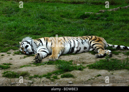 A tiger sleeping on the grass - Stock Photo