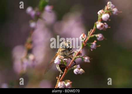 Eristalis tenax, the drone fly, grooming itself on heather. This is a common hoverfly species. - Stock Photo