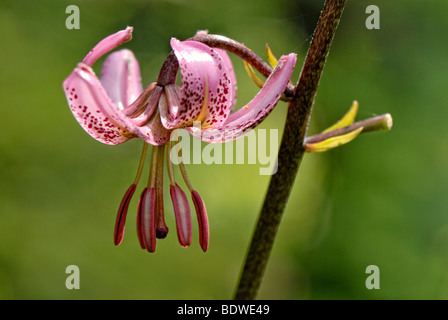 Turk's Cap Lily (Lilium martagon) - Stock Photo