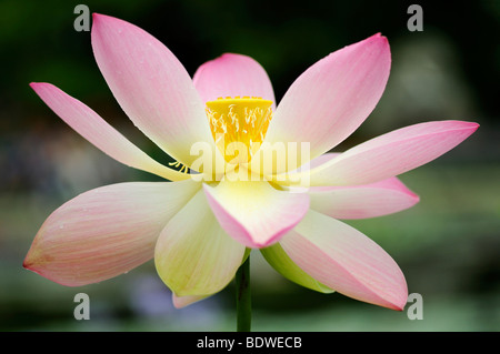 Indian lotus (Nelumbo nucifera) - Stock Photo