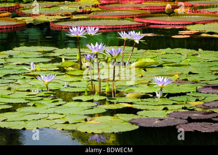 Water lily pond with blooming waterlilies (Nymphaea) - Stock Photo
