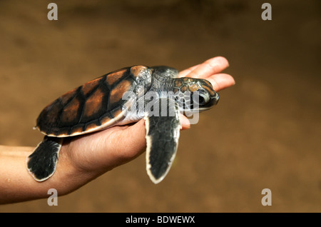 A baby turtle at the Turtle Conservation Project Bentota Sri Lanka - Stock Photo
