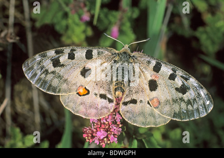 Mountain Apollo butterfly (Parnassius apollo) sucking nectar of origanum - Stock Photo