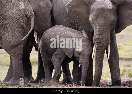 Close-up Baby and mother elephants affectionate hug rubbing together lovingly in Masai Mara of Kenya Africa, soft - Stock Photo