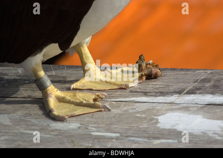 Brown booby, Sula leucogaster, detail of feet with tumor growth, St. Peter and St. Paul's rocks, Brazil, Atlantic - Stock Photo