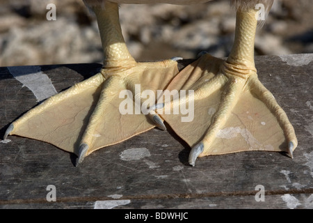 Brown booby, Sula leucogaster, detail of feet St. Peter and St. Paul's rocks, Brazil, Atlantic Ocean - Stock Photo