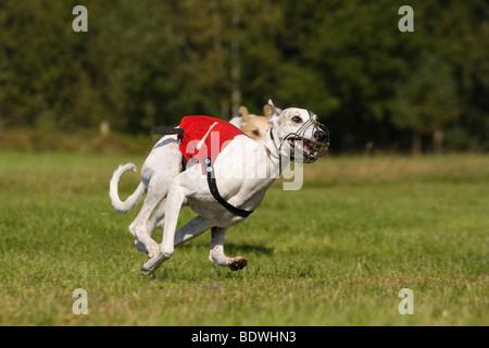 Saluki, Greyhound Coursing, Hoope, Lower Saxony, Germany, Europe - Stock Photo