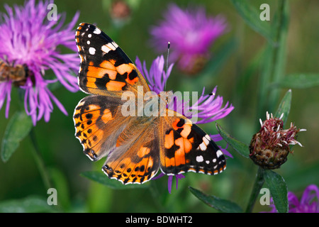Thistle Butterfly, Painted Lady (Vanessa cardui, Cynthia cardui) sitting on a flowering Brown Knapweed, Brownray - Stock Photo