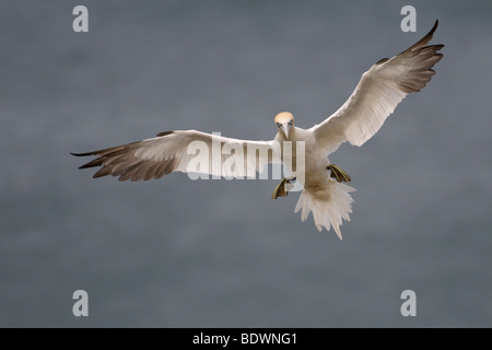 Northern gannet Morus bassanus adult in flight. - Stock Photo