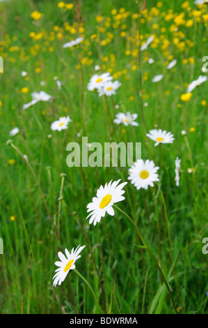 Ox-eye daisies and buttercups in a meadow
