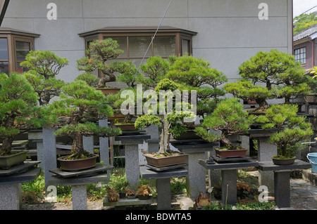 Large privately owned Bonsai garden in Sasayama, Japan, Asia - Stock Photo