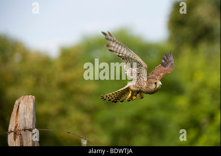 Common Kestrel (Falco tinnunculus) - Stock Photo