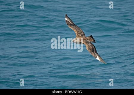 Great skua or bonxie Stercorarius skua adult in flight over sea. - Stock Photo