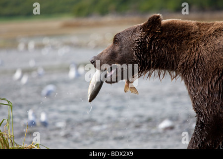 Grizzly bear catching salmon victory walk in Geographic Bay Katmai National Park Alaska - Stock Photo