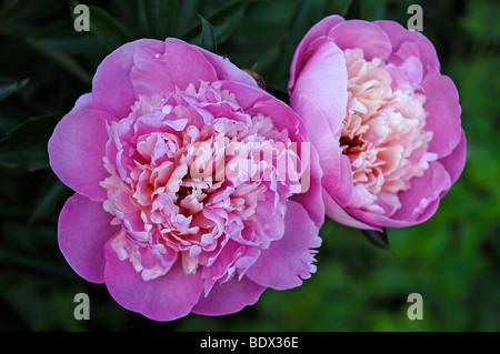 Peonies (Paeonia officinalis) flowers - Stock Photo