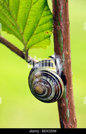 Brown-Lipped Snail, Grove Snail (Cepaea nemoralis) - Stock Photo