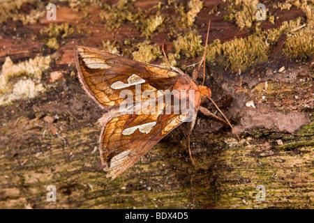 gold spot moth; Plusia festucae - Stock Photo