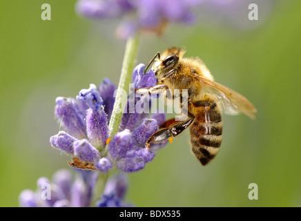 Honeybee (Apis) feeding on Common or True Lavender (Lavandula angustifolia) - Stock Photo