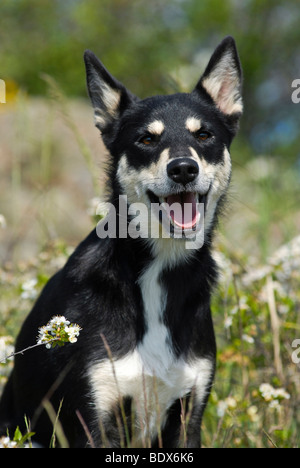 Lapponian Herder, Lapinporokoira or Lapp Reindeer dog sitting in a flowery meadow - Stock Photo