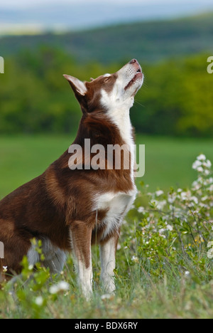 Lapponian Herder, Lapinporokoira or Lapp Reindeer dog on a flowery meadow - Stock Photo