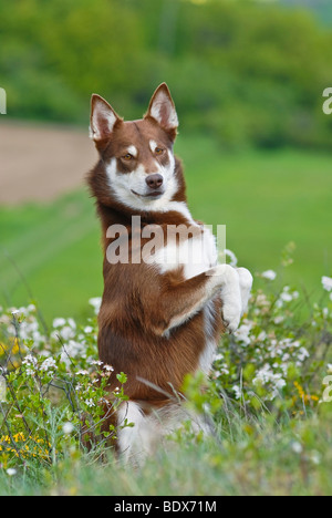 Lapponian Herder, Lapinporokoira or Lapp Reindeer dog begging on a flowery meadow - Stock Photo