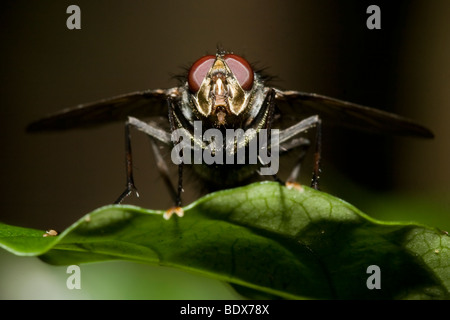 Tachinid fly, order Diptera, family Tachinidae. Photographed in Costa Rica. - Stock Photo