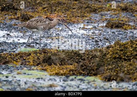 A Curlew (Numenius arquata) Feeding In Habitat - Stock Photo