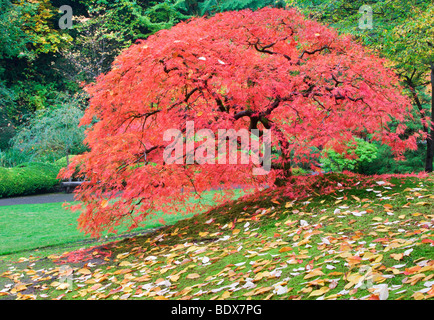 Japanese Maple tree in fall color. Portland Japanese Gardens. Oregon - Stock Photo