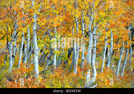 Close up of fall color and trunks of aspen trees. Inyo National forest. California - Stock Photo