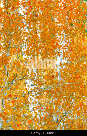 Close up of fall colored aspen trees. Inyo National Forest. California - Stock Photo