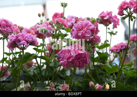 Pink Geraniums growing in a window box in Honfleur , Normandy , France - Stock Photo