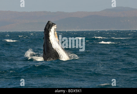 Species-specific spy hop, temporarily rising its head out of the water, of a Humpback Whale (Megaptera novaeangliae) - Stock Photo