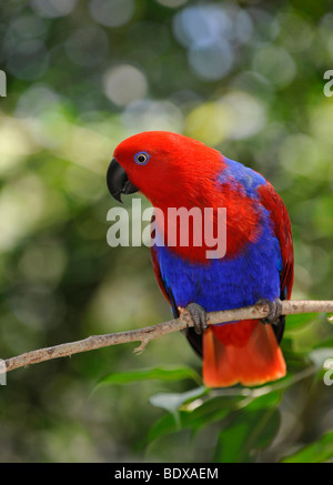 Eclectus Parrot Eclectus roratus), female, Australia - Stock Photo