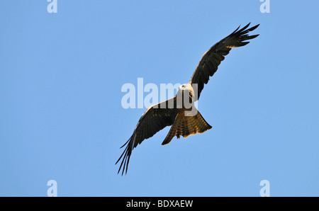 Flying Wedge-tailed eagle (Aquila audax), Queensland, Australia - Stock Photo