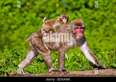 Japanese Macaque (Macaca fuscata) with baby - Stock Photo