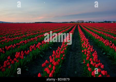 Sunrise over tulip fields in Skagit Valley, Washington - Stock Photo