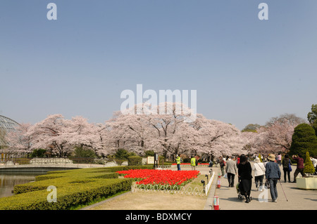 Cherry blossom, cherry blossom festival at the Botanical Garden in Kyoto, Japan, Asia - Stock Photo