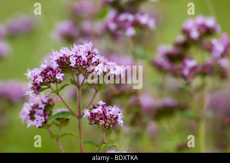 marjoram; Origanum vulgare - Stock Photo