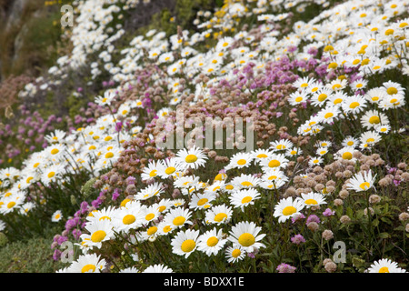 oxeye daisies; Leucanthemum vulgare; and thrift; cornwall - Stock Photo