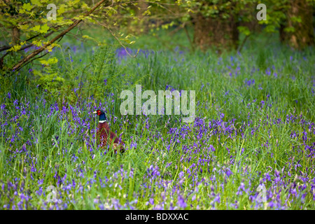 pheasant; Phasianus colchicus; male in bluebells; cornwall - Stock Photo