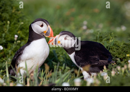 puffins; Fratercula arctica; skomer; wales - Stock Photo