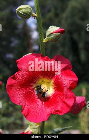 Red Common Hollyhock (Alcea rosea, Althaea rosea) with Buff-tailed bumblebee, Large earth bumblebee (Bombus terrestris) - Stock Photo