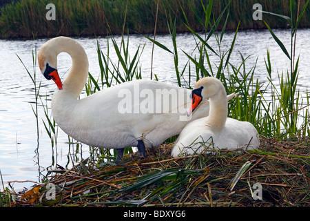 Couple of nesting and breeding Mute Swans (Cygnus olor) - Stock Photo