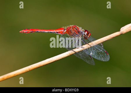 Male Ruddy Darter (Sympetrum sanguineum), male taking a sunbath on a blade of grass - Stock Photo