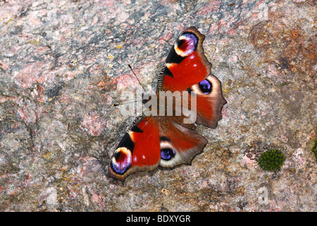 Peacock butterfly (Inachis io) taking a sunbath on a stone - Stock Photo