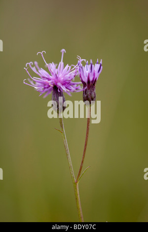 sawwort, serratula tinctoria - Stock Photo