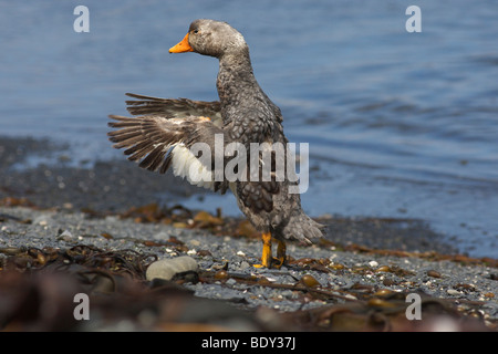 Flightless Falkland Steamer Duck (Tachyeres brachypterus), Falkland Islands, South America - Stock Photo