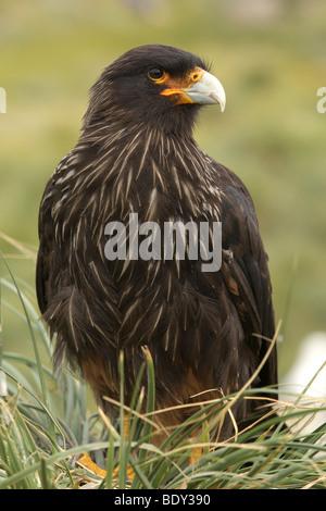 Striated Caracara (Phalcoboenus australis), Falkland Islands, South America - Stock Photo
