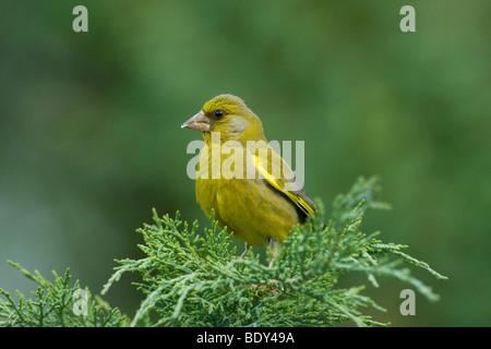 Greenfinch (Carduelis chloris), Switzerland, Europe - Stock Photo